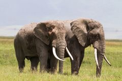 Två enorma elefanter inom krater av Ngorongoro Tanzania Afrika arkivbild