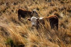 Två enorma kor av brun och vit färg royaltyfria bilder