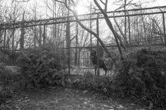 Två ensamma varger Arkivbild