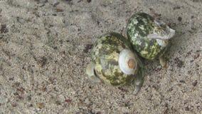 Två eremitkrabbor som kryper på sanden arkivfilmer