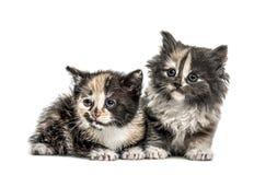 Två européShorthair kattungar, 1 gamla som månad isoleras på vit Royaltyfri Fotografi