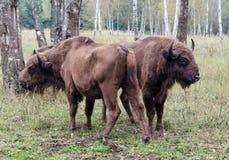Två europeiska bisons Royaltyfri Foto