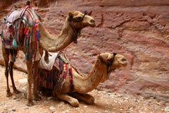 Två exploaterade kamel i Petra mot bakgrunden av vaggar arkivbilder