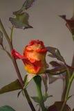 Två-färgade rosor Arkivfoton