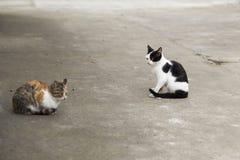 Två färgar katten Royaltyfri Fotografi