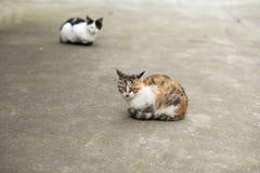 Två färgar katten Arkivfoto
