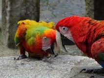 Två färgrika aras Arkivfoto