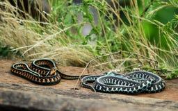 Två färgrika ormar royaltyfri fotografi