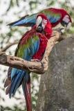 Tv? f?rgrika papegojor som sitter p? filial royaltyfria foton