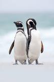 Två fågel på snön, Magellanic pingvin, Spheniscusmagellanicus, hav med vågen, djur i naturlivsmiljön, Argentina som är södra Arkivfoto