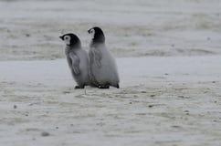 Två fågelungar för kejsarepingvin Royaltyfri Fotografi