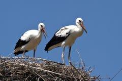 Två fågelungar för vit stork som sitter i rede på en sommardag Arkivbild