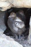 Två fågelungar i redet snöig Sheathbill between Arkivfoto