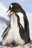 Två fågelungar och kvinnliga Gentoo pingvin på matningstid Arkivbild