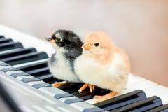Två fågelungar på pianotangenterna Kurser av musik Utföra en musikal för att spela en duet_ arkivbild