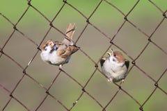 Två fågelungar som sitter i cellmetallstaket Fotografering för Bildbyråer