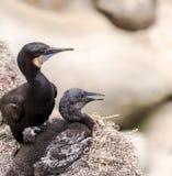 Två fåglar för kormoran för Brandt ` som s sitter på klippor royaltyfri foto