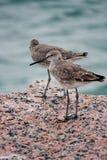 Två fåglar för västra snäppa på golfen av Mexico Royaltyfria Bilder