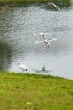 Två fåglar landar Fotografering för Bildbyråer