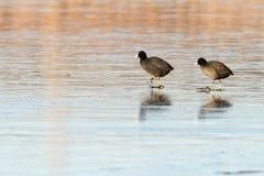 Två fåglar på is Fotografering för Bildbyråer