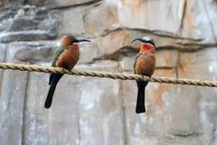 Två fåglar på ett rep Arkivfoto