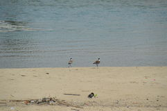 Två fåglar på stranden Royaltyfri Foto