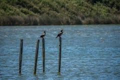 Två fåglar på träpelare i en sjö royaltyfria bilder