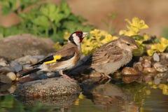 Två fåglar på vatten Royaltyfri Fotografi