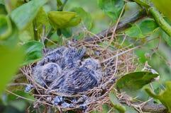 Två fåglar, sebraduva, i deras rede royaltyfri bild