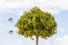 Två fåglar som flyger runt om ett träd Arkivbild