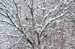 Två fåglar som sitter på filialerna av busken Det ` s Bluet Jays Vinter och snöig Royaltyfri Bild