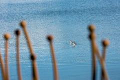 Två fåglar, stor krönad dopping som tillsammans simmar arkivbild