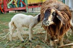 Två får. Royaltyfria Foton