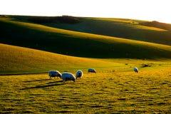 Två får i ett fält som stirrar på kameran Royaltyfria Bilder