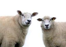 Två får på en vit bakgrund Arkivfoto