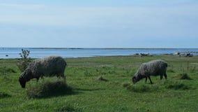 Två får som äter gräs i Ã-land, Sverige stock video