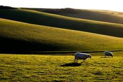 Två får som betar med engelska Rolling Hills i baksidajordningen Arkivfoto