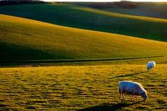 Två får som betar med Rolling Hills i bakgrunden Royaltyfri Foto
