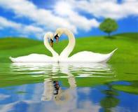 Två förälskade härliga svanar arkivbild