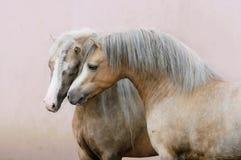 Två förälskade walesiska ponnyer Royaltyfri Fotografi