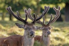 Två för fullvuxen hankronhjortCervus för röda hjortar horn på kronhjort för sammet för elaphus växande Royaltyfria Bilder