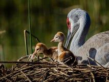 Två - för sandhillkran för dag gamla fågelungar med mamman Arkivfoto
