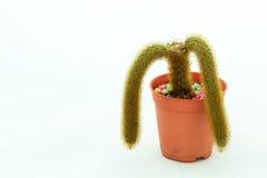 Två-förgrena sig kaktus Fotografering för Bildbyråer