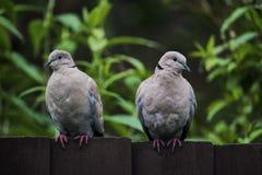 Två försåg med krage duvor som sitter på en mörker färgad träträdgårds- fenc Royaltyfri Bild