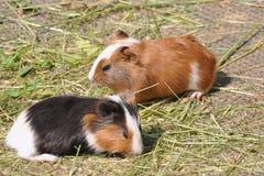 Två försökskaniner (Caviaporcellus) Arkivfoto