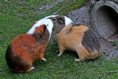 Två försökskaniner som möts på naturen Arkivbilder