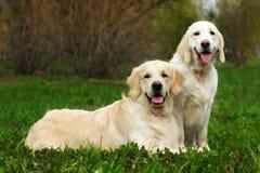 Två familjhundkapplöpning, ett par av golden retriever som vilar på gräs I royaltyfri fotografi