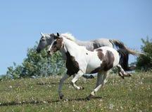 Två fantastiska hästar som tillsammans kör Fotografering för Bildbyråer