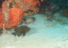 Två fiskar nedanför korallreven royaltyfri fotografi