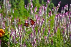 Två fjärilar Arkivbilder